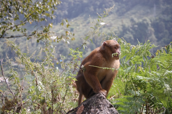It is said to be good luck to see a languor monkey during your travels