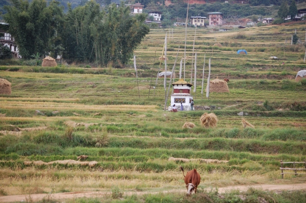 Rice paddies near Chimi Lakhang