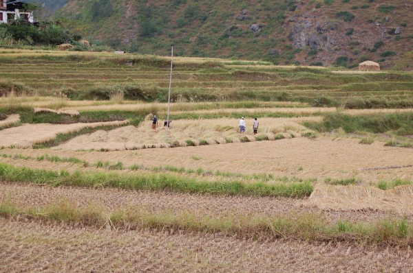 Rice harvest time