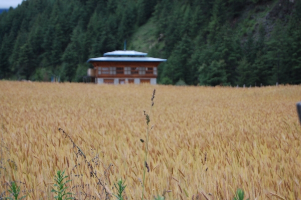 Rice Field Bumthang