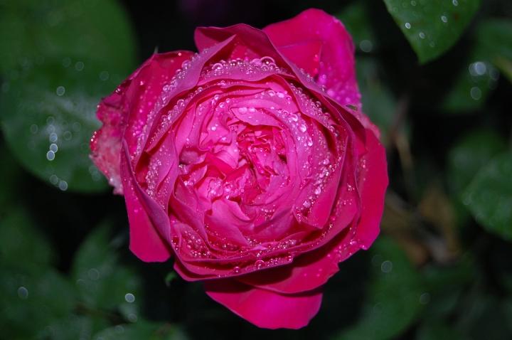 Bhutanese Rose